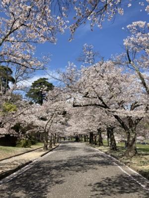 ブログ更新しました!-今年の桜!-